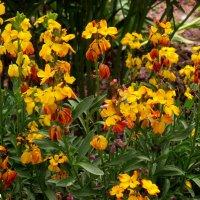 Хейрантус или желтофиоль садовая :: Нина Бутко