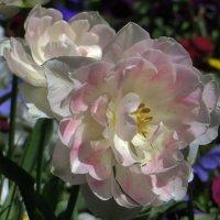 Нежный тюльпан :: Наталья Джикидзе (Берёзина)
