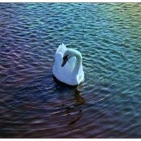 А белый лебедь на пруду... :: Натали Пам