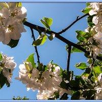 Ветка яблони :: Elena