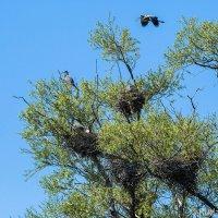 Цапли на гнездах :: Сергей