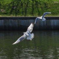 Чайки :: Вера Щукина