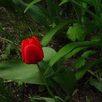 Первый тюльпан этого года у моего дома :: Андрей Лукьянов