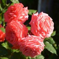 Эти чудные розы Калифорнии :: Николай Танаев
