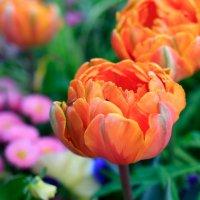 его  величество тюльпан. :: Ирина ...............