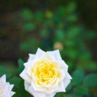 Роза :: Марина Киреева