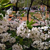 Цветение вишни :: Елена Семигина