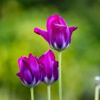 Тюльпаны :: Татьяна Н.