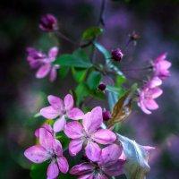 райская яблонька.... :: Александр Александр