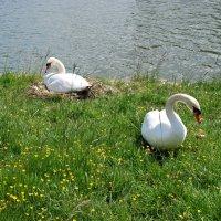 Лебеди :: Валентина Богатко