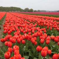 Тюльпановые поля в Голландии :: Фотограф в Париже, Франции Наталья Ильина