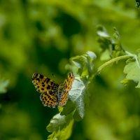 Бабочка (одна из бабочек) :: Владимир Николаевич
