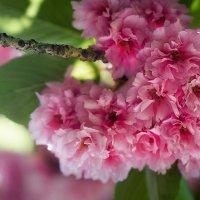Сакура в цвету. :: Елена Данько