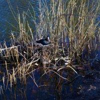 Лысуха на гнезде... :: Sergey Gordoff