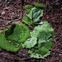 Капли росы на листьях :: Клиентова Алиса