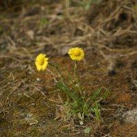 Цветы на камне :: Светлана Т