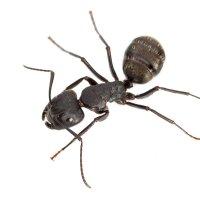 Лесной муравей :: Ник Мелон