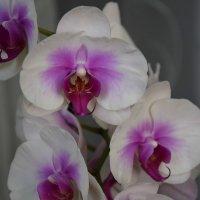 Орхидея-2. :: Светлана Исаева