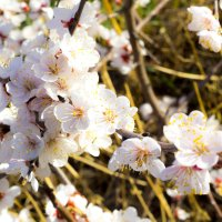 Вишня в цвету :: Марина Кириллова