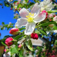 Яблоня в цвету ! :: Татьяна ❧