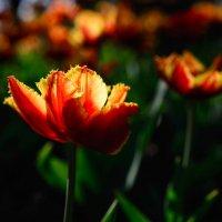 Тюльпаны :: Roman Globa
