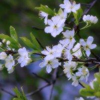 Весны цветение :: Наталья Лакомова