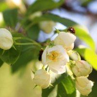 яблони в цвету :: Tanyana Zholobova