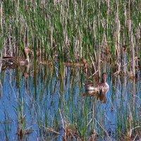 Дикие гуси с  выводком на пруду....(Снимок из далека)... :: Любовь К.