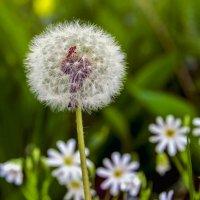 Одуванчик среди цветов.. :: Юрий Стародубцев