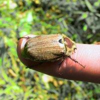 Майский жук :: Сергей Владимирович Егоров