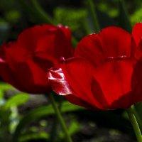тюльпаны :: Марина Ринкашикитока