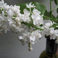 Белая сирень в пасмурный майский день... :: Алексей Гришанков (Alegri)