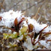 Бузина под снегом :: Дмитрий Ерохин
