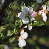 Цвет войлочной вишни :: Николай Масляев