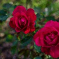 розы :: Даниил pri (DAROF@P) pri