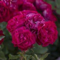 Red roses(красные розы) :: Dmitry Ozersky