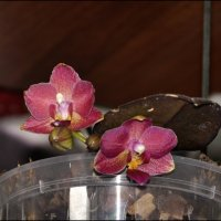 Цветет моя малышка :: Василиса Никитина