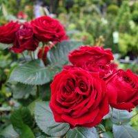 Майские розы... :: Galina Dzubina