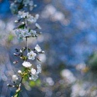 первые цветы :: Светлана Шутова