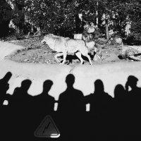 Люди .Волки.Зоопарк. :: Лариса Журавлева