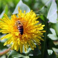 Пчела - трудяга. :: Валентина ツ ღ✿ღ