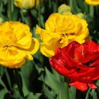 Тюльпаны. :: Ирина Лебедева