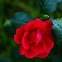Красная красавица :: Светлана