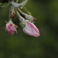 Нежный цветок дерева :: Екатерина Рыбина