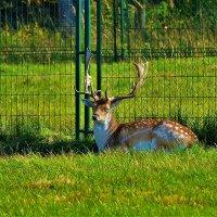Европейский коричневый олень... :: Sergey Gordoff