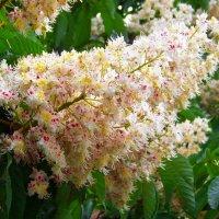 Цветы каштана величиной с хороший лапоть 47 размера...) :: Любовь К.