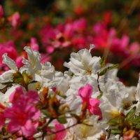 Цветут Рододендроны :: spm62 Baiakhcheva Svetlana