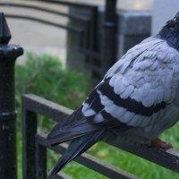 Просто грустный голубь :: Eva ***