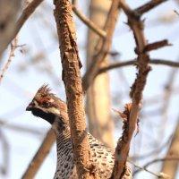 Апрельский рябчик-самец :: Сергей Стреляный