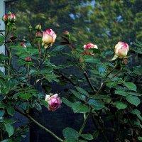 розовый куст под окном :: Александр Корчемный